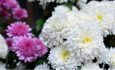 重陽の節句(ちょうようのせっく)菊の節句の意味とは?9月9日は長寿の日